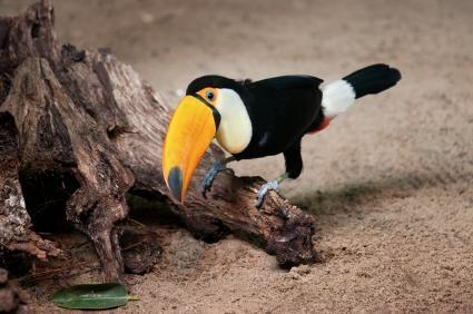Toucan Fakta for Kids