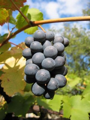 Spire Grape Seed